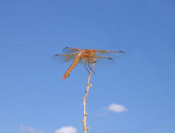 drangon_fly.jpg